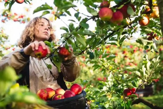 Apple picking JOBS in Canada